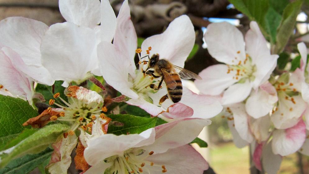 Abeja-melífera-en-flor-de-manzano