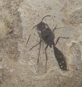 insecto fósil Eoceno Río Negro(1)